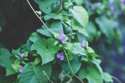 Purple Morning Bloom - Jacque Holmes Photography (2)